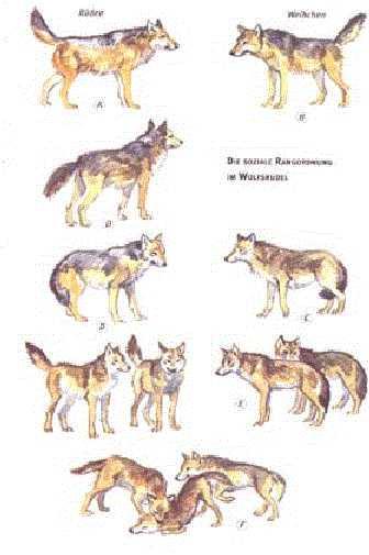 Körpersprache Des Hundes Arbeitsblatt : Bordermix